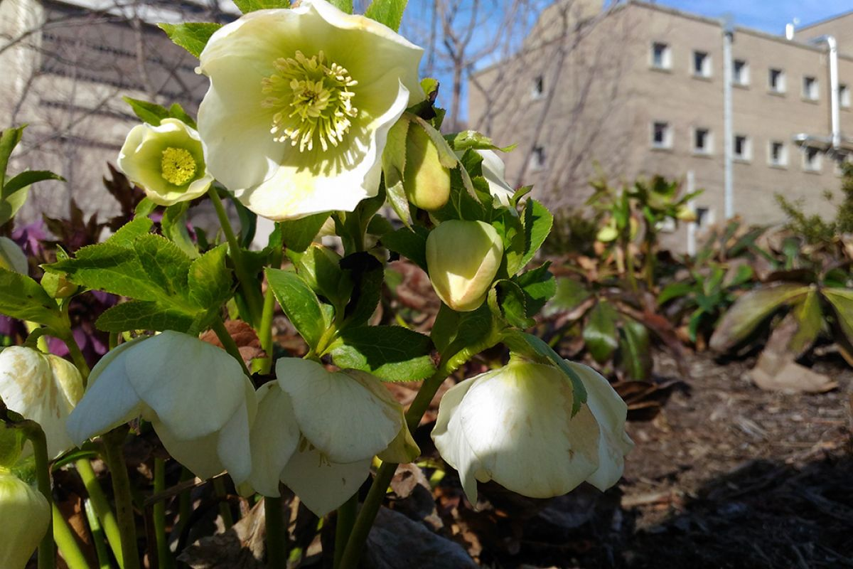 The Hellebores Were The First Flowers To Bloom In March. They Greeted Ola  Nowosad As She Walked To Roswell Park To Visit Her Husband.